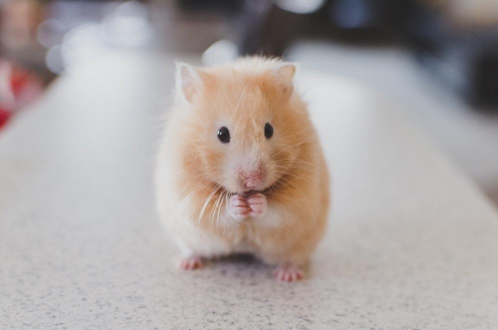 Características de los hamsteres