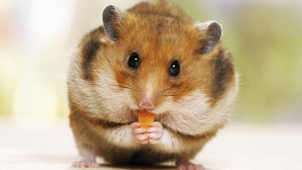 los abazones del hamster acaparador