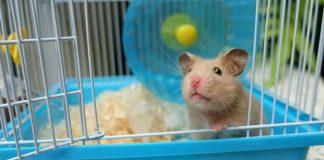 jaula para hamster fotos de hasmters comun