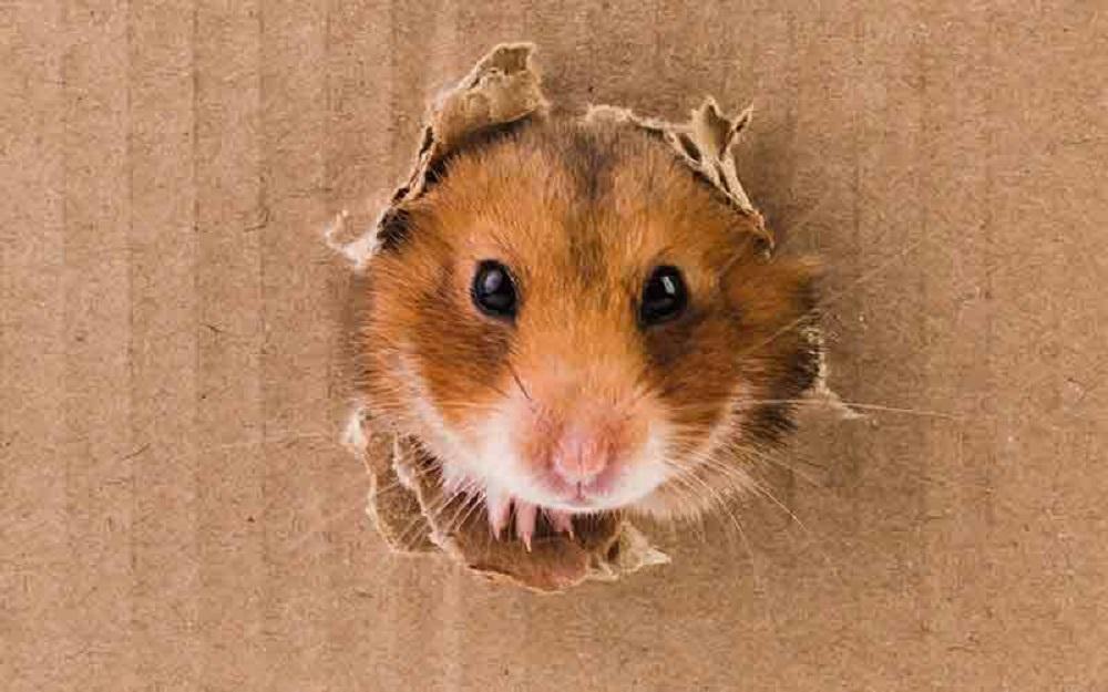Hamster jugando en caja de carton juegos para hamsters ideales