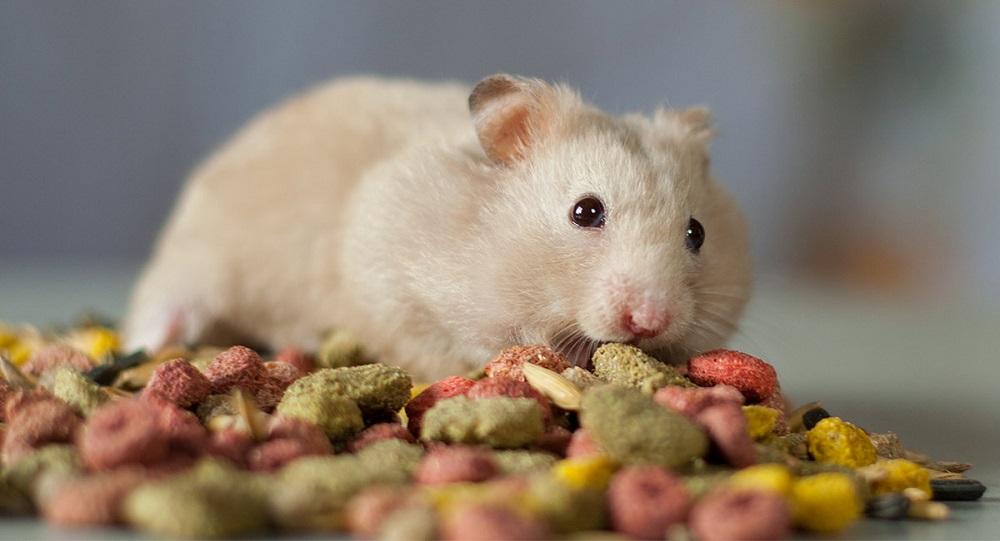 Comida para hamster ¿qué comen los hamsters? comida de hamster Comida para hámster