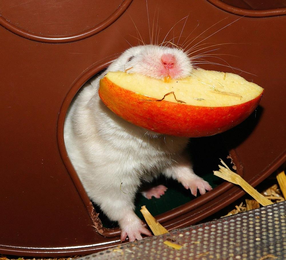 fruta comida para hamster listado lista de frutas y comidas aptas y prohibidas