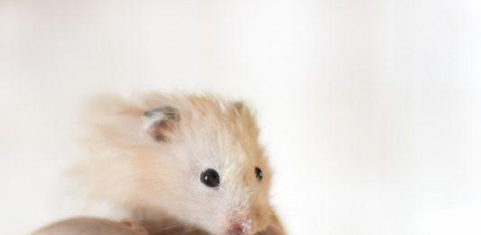 Enfermedades de los hamsters