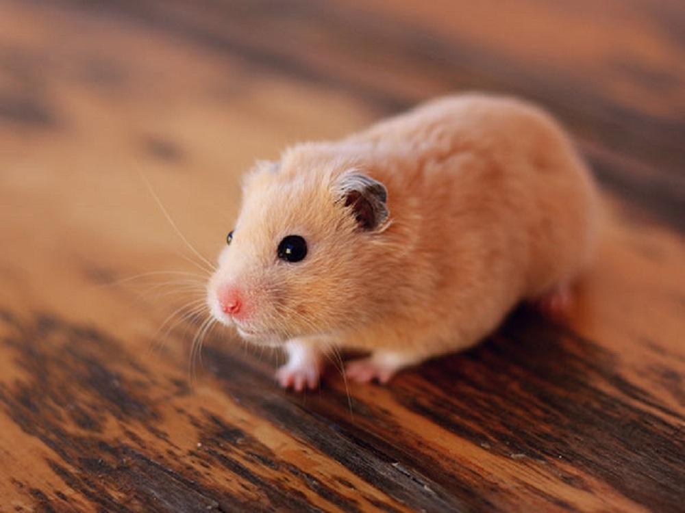 hamster común hamster sirio hamster dorado