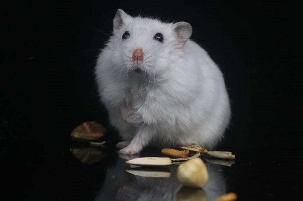 hamster común albino