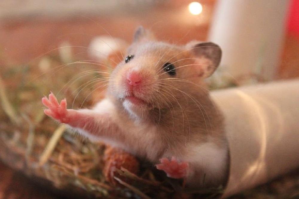 hamster comun jugando con un rollo de papel