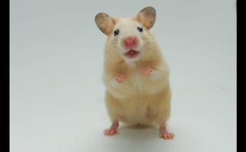 Diferentes razas de hamsters