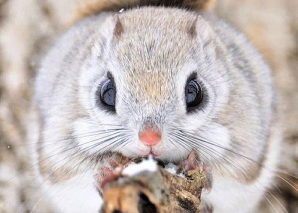 Ardilla Siberiana Hamster Online Org