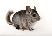 Chinchilla national geographic