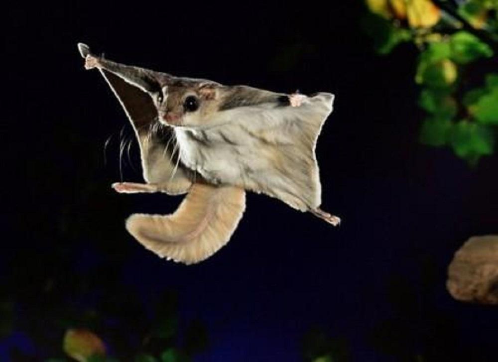 ardilla voladora siberiana hamster online