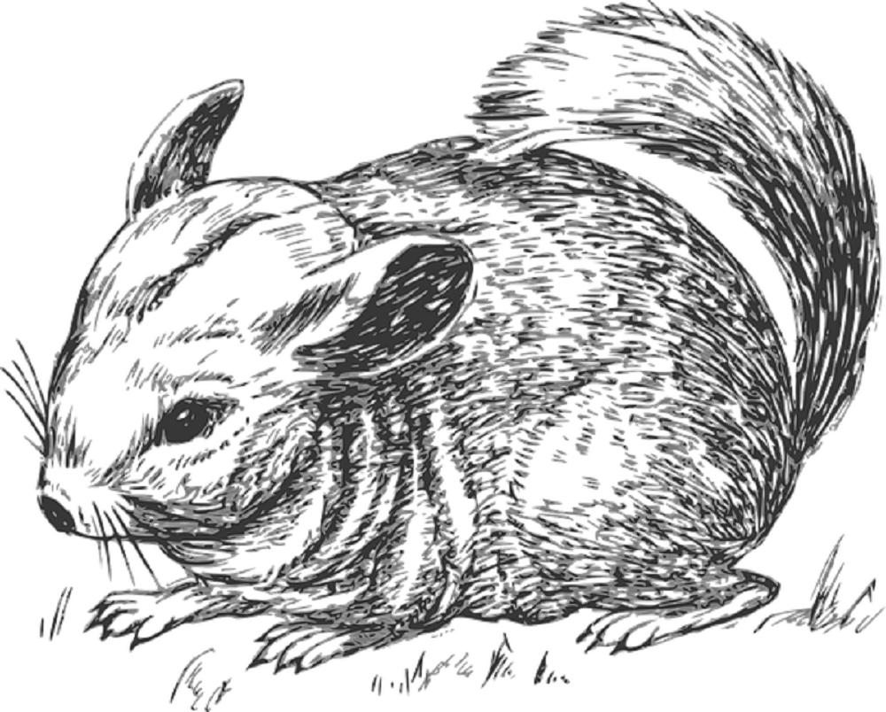 Dibujo de una chinchilla. Características de la Chinchilla.