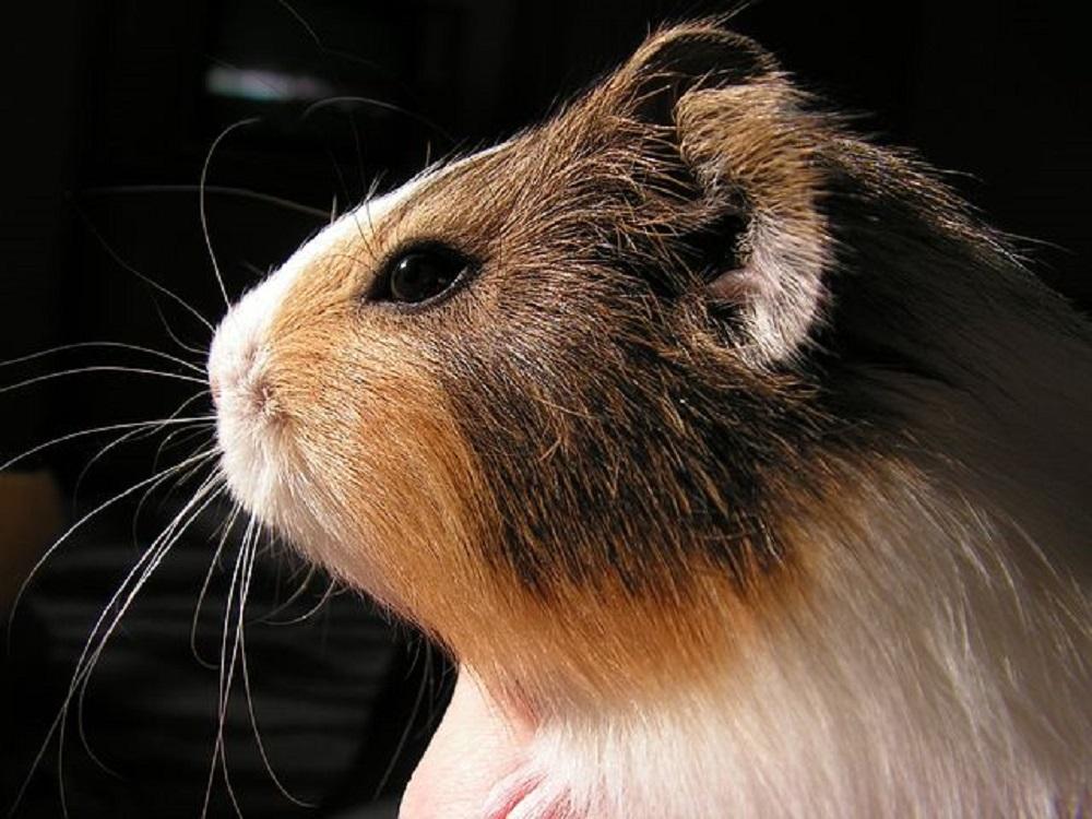 cabeza retrato hamster online