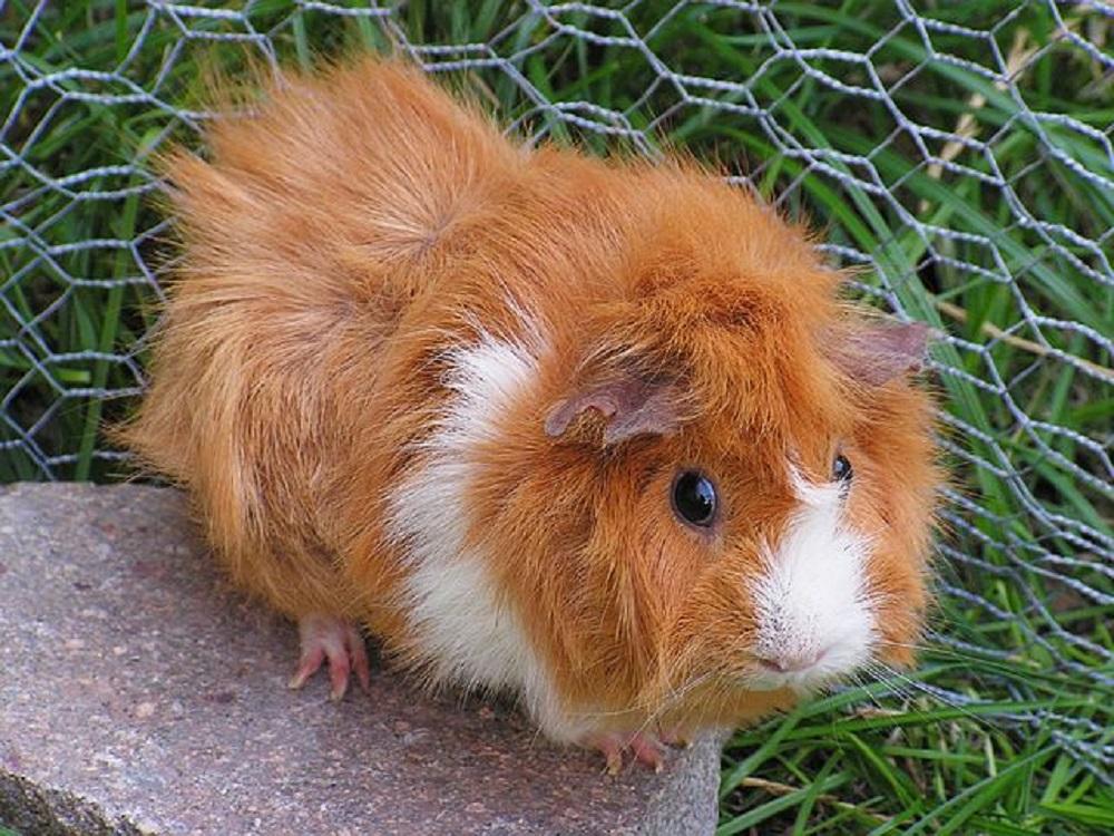 cobaya de pelo largo hamster online