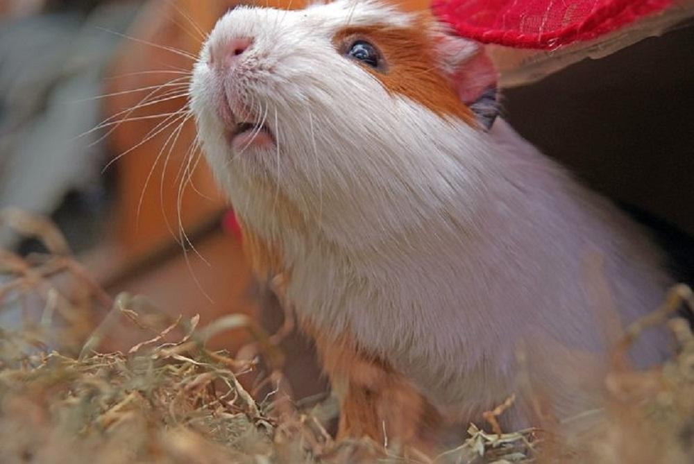 cobaya en jaula hamster online