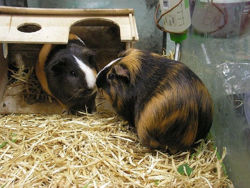cobaya guinea pig conejillo de indias hamster online