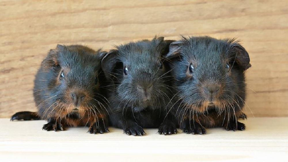 cobayas negras hamster online