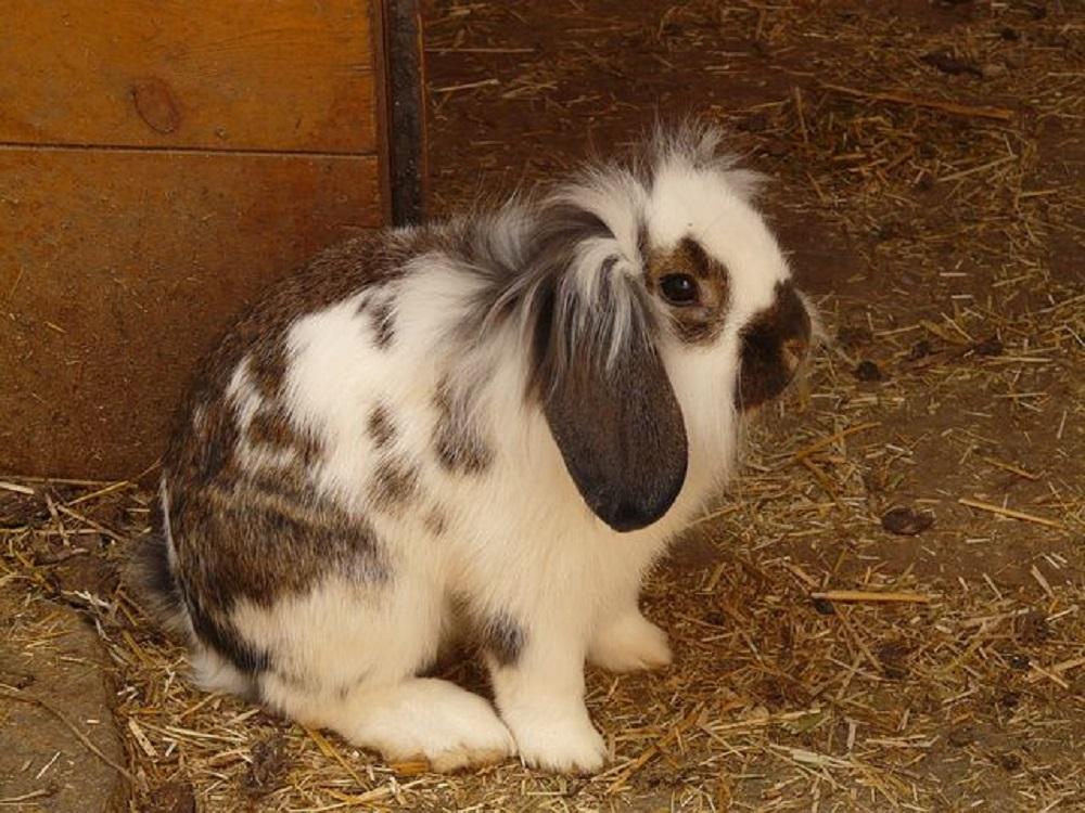 Se caracteriza por sus orejas caidas. Hamster Online Org.