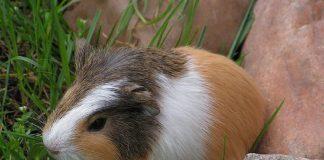 conejo de indias cobaya tricolor tipica hamster online