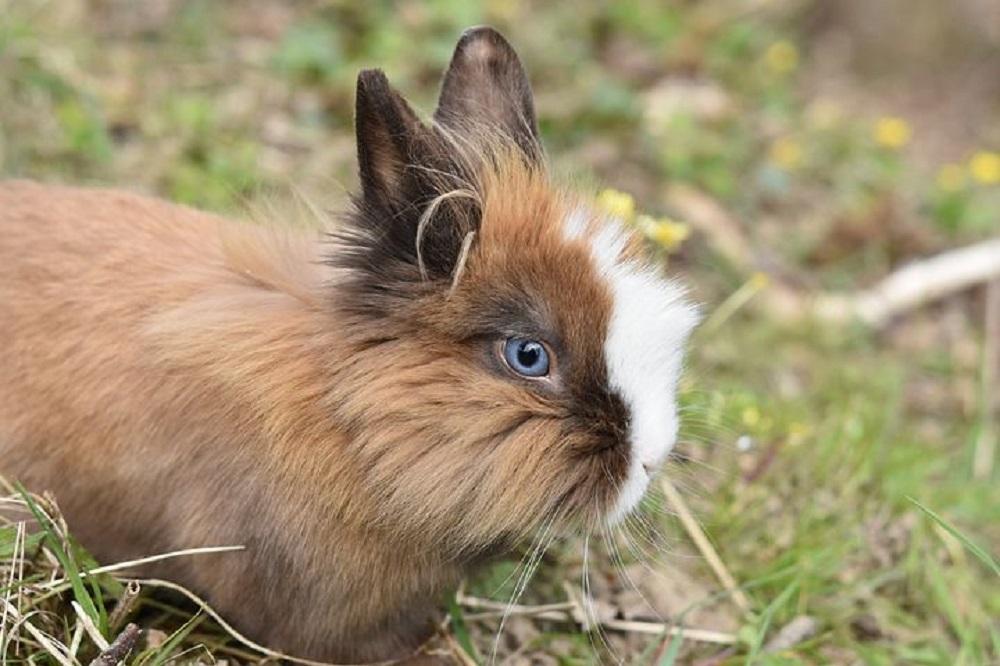 Conejo enano Toy en el campo.
