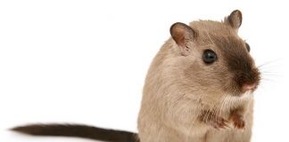 jerbo hamster online org