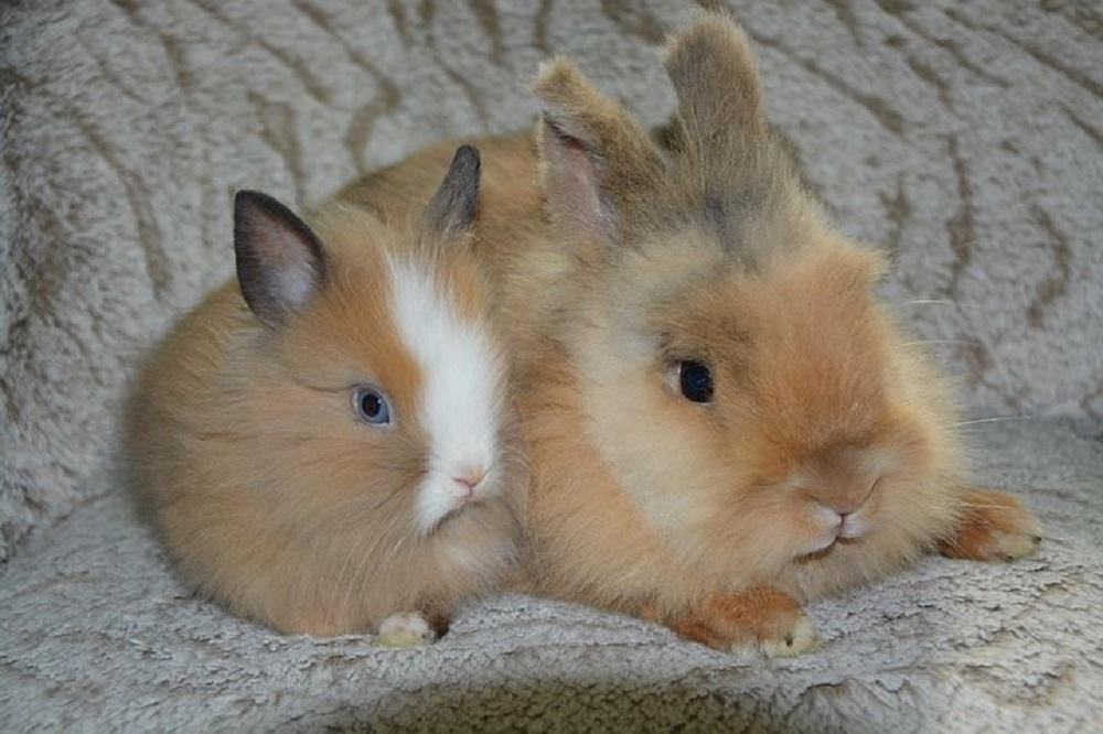 pareja de rabbits enanos toy hamster online