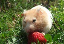 que comen los hamsters