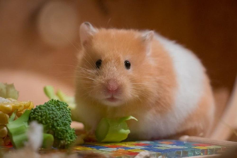 hamster comun sirio dorado