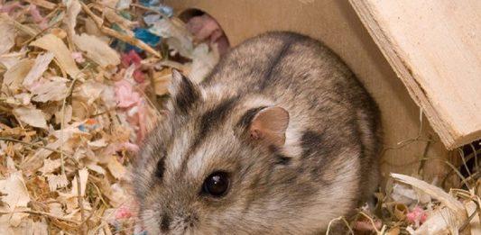 Hámster Campbell enano fotos de hamster enano campbell