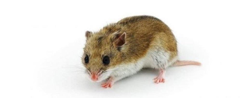 fotos de hamsters chino, caracteristicas