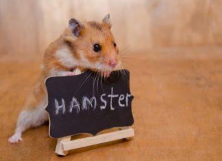 comprende y entiende a tu hamster lenguaje y comunicación