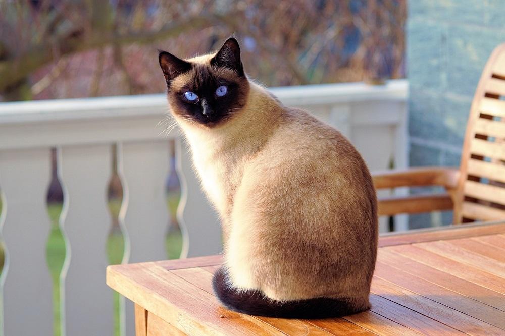 gato siames parecido al hámster siames - copia