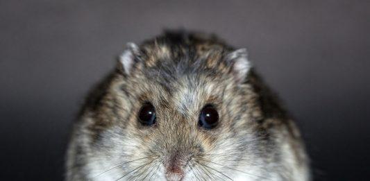 hámster rusos photos fotos hamsters rusos cage