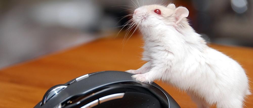 hamster albino caracteristicas caracter y alimentacion