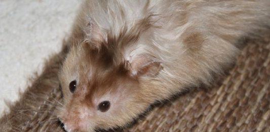 hamster angora hamster segun pelaje