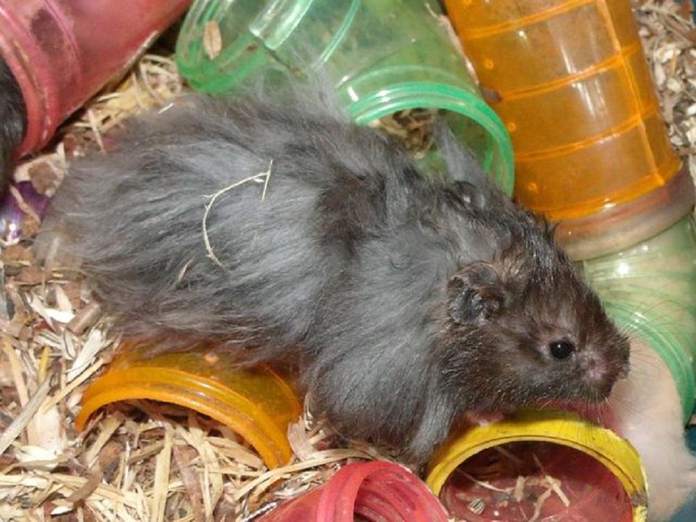 hamster angora negro hamster segun pelaje el pelo de los hamsters