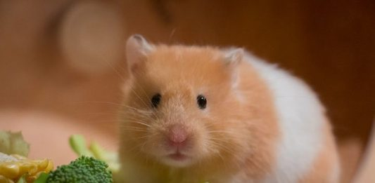 hamster arlequin hamster segun pelaje