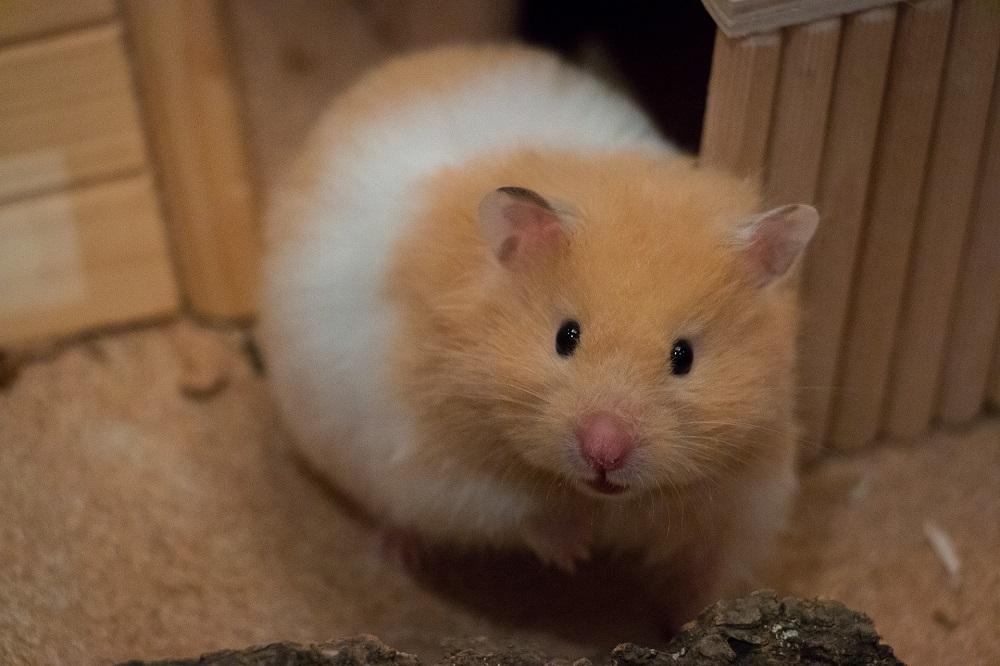 Hamster Arleguín según pelaje.