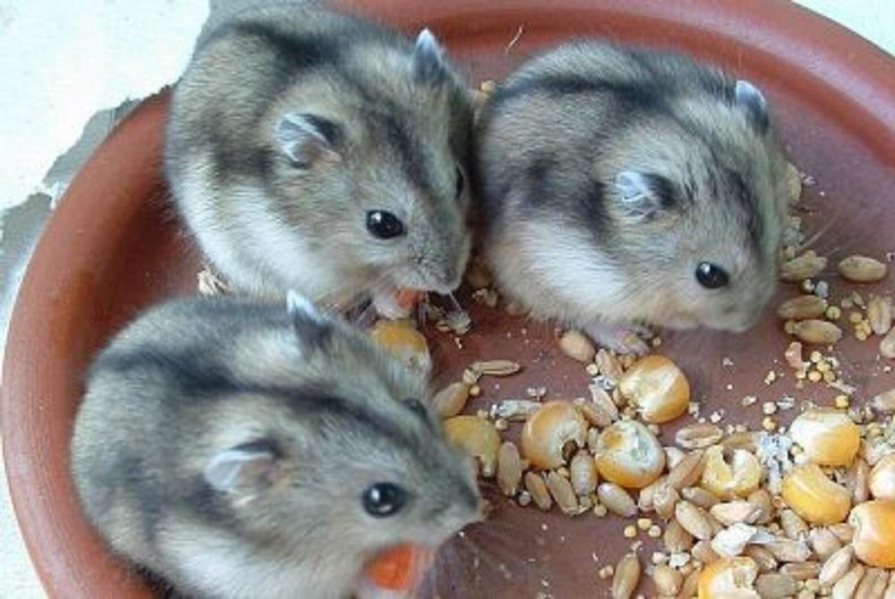 Camada de hamsters enanos de Campbell.