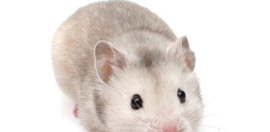 caracteristicas de lo hamsters. hamster enano.