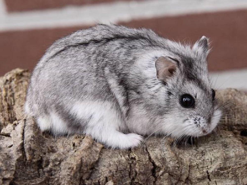 hamster enano de campbell en tonos grises