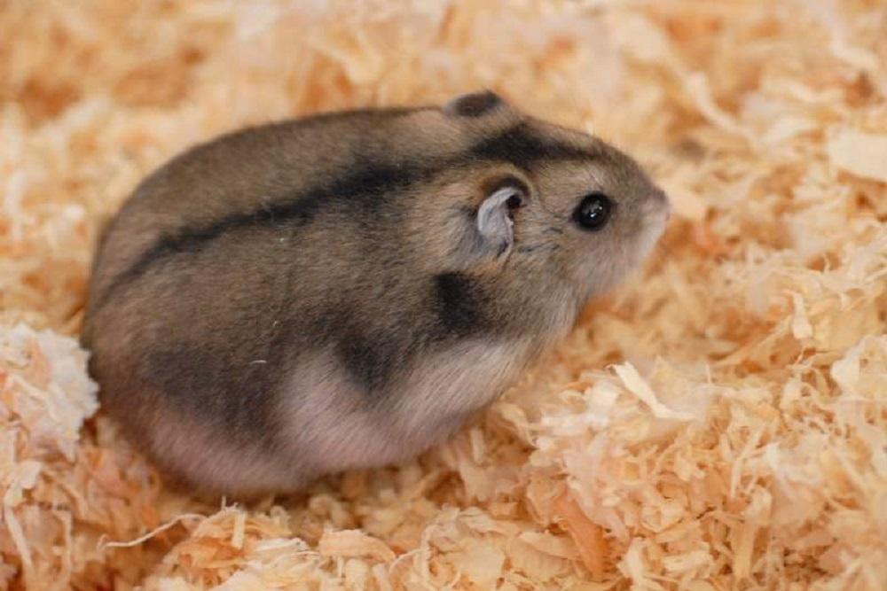 hamster enano de campbelli en su jaula cage
