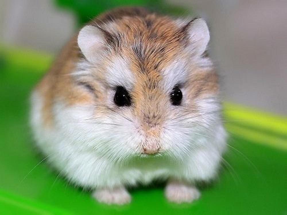 hamster enano de roborosvki el