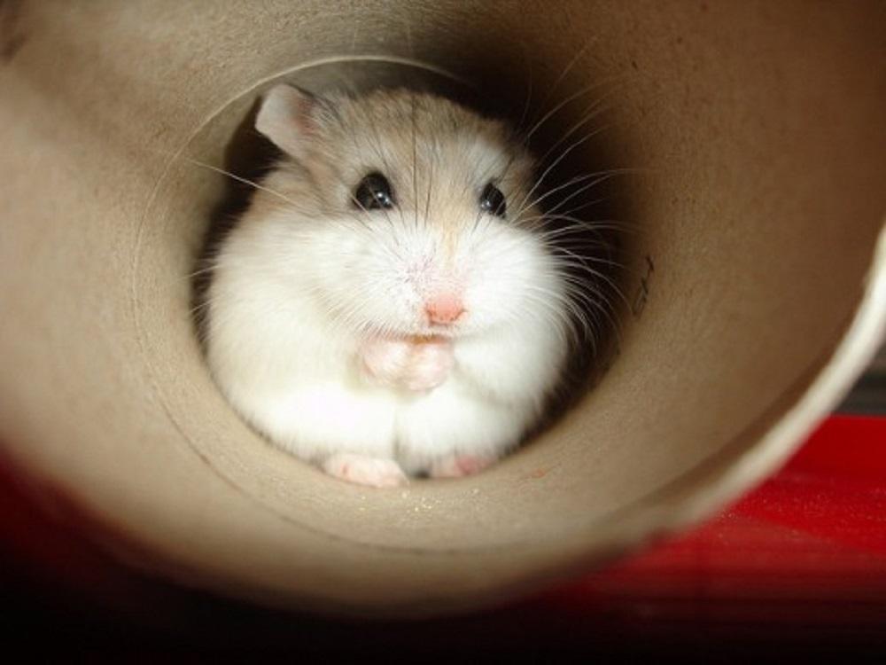 hamster enano de roborovski jugando en un rollo de papel