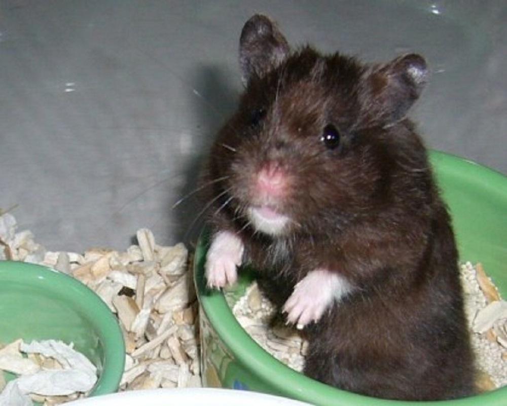 hamster oso negro hamster online org hamster segun pelaje