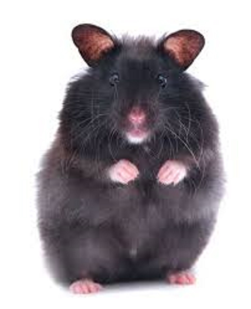 hamster oso negro segun pelaje