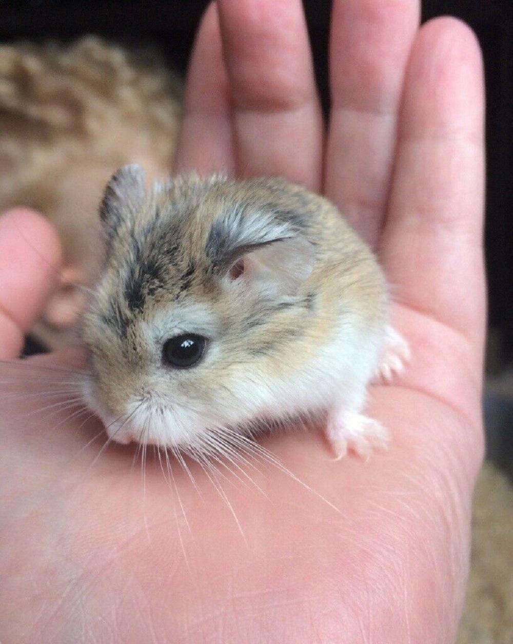 hamster roborosvki hamster enano parece un puerco espin