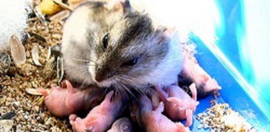 Reproduccion de los hamsters