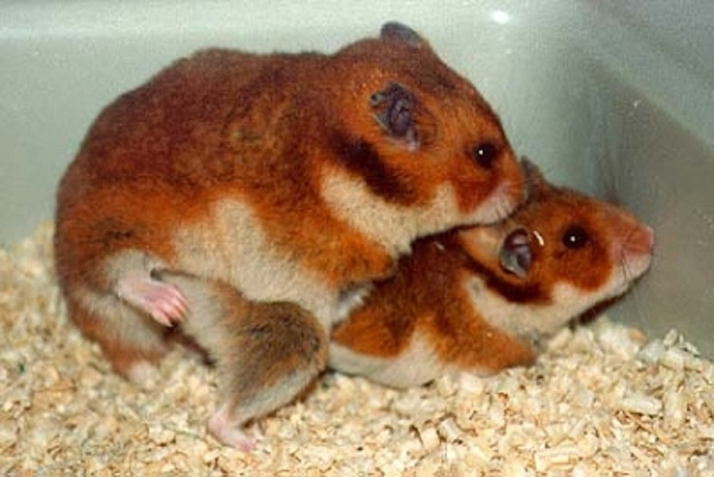 reproduccion hamsteres copulando