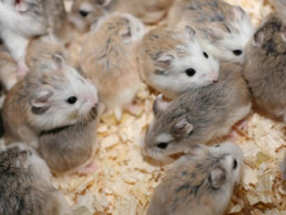 reproduccion hamsters camada de hamster roborowski ¿Cuánto cuesta un hámster Roborowski?