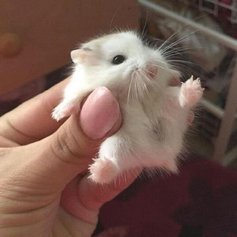 hamster enano foto